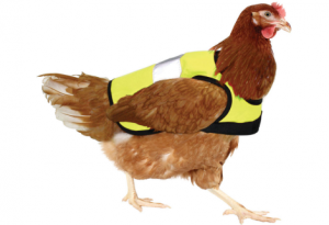 Chicken in a vest