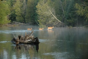 Deer on Au Sable