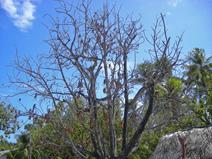 dead_breadfruit_tree.jpg