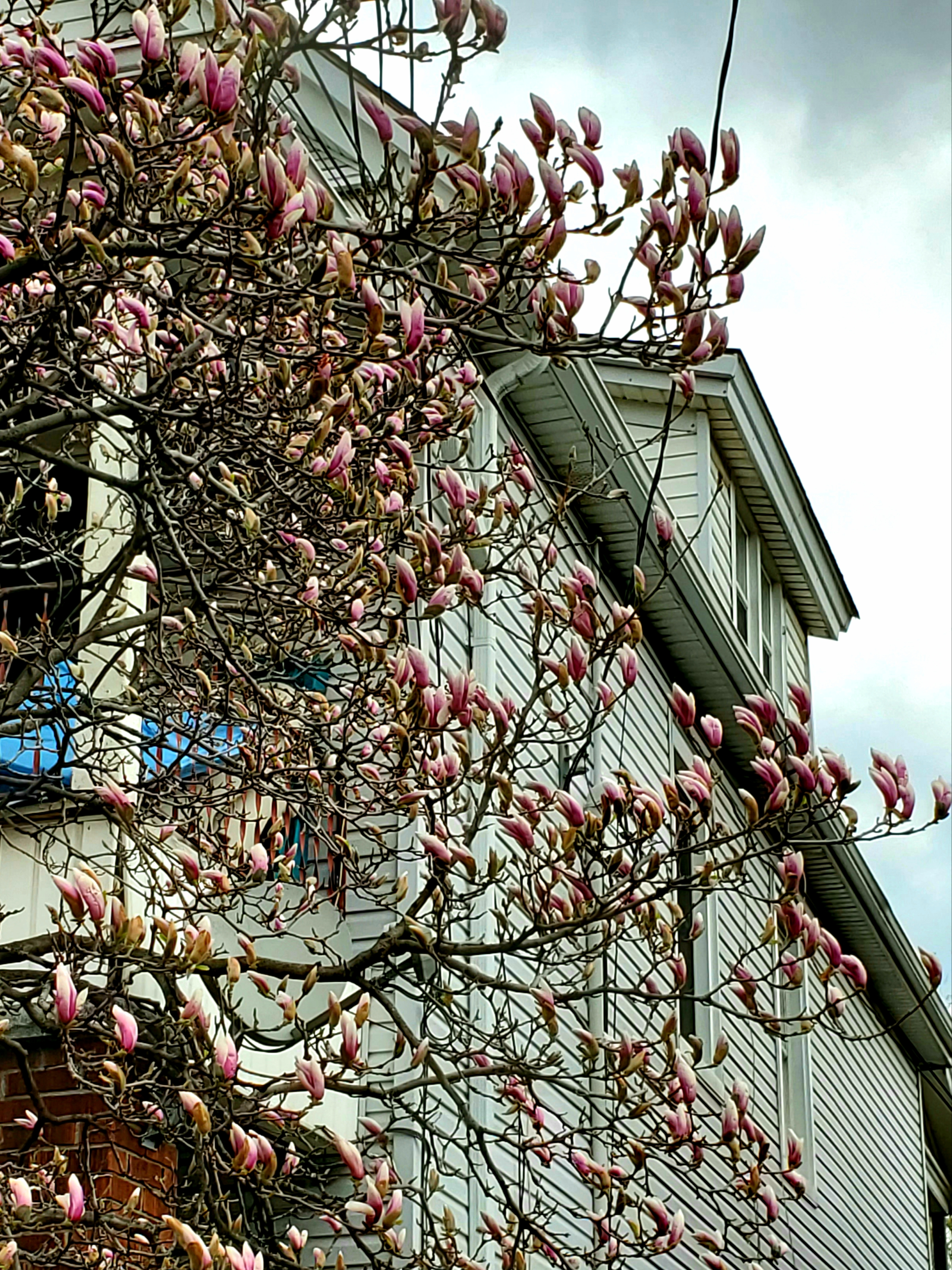 Magnolias getting ready to bloom near Lottridge and Barton