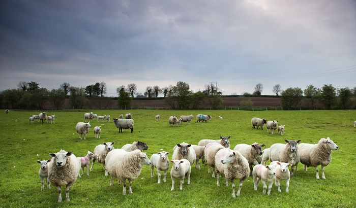 Sheep-farm-UK-EU-700x410.jpg