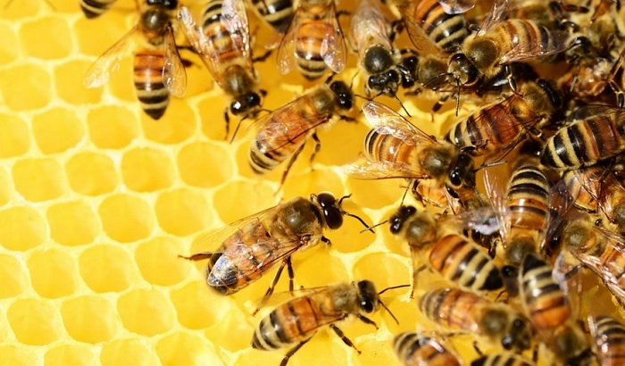 Honey-bees-700x410.jpg