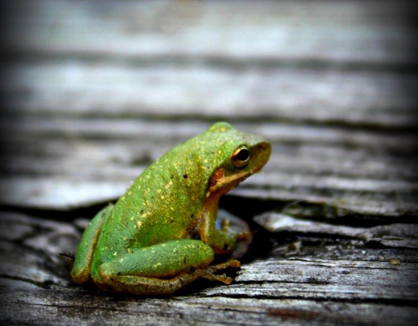 20121224-Tiny_Green_Frog.jpg