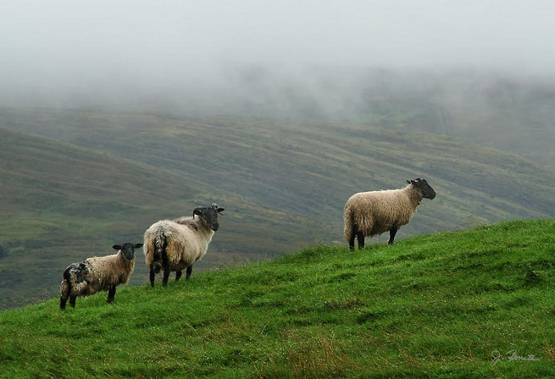 irish-sheep-in-the-mist-joe-bonita.jpg