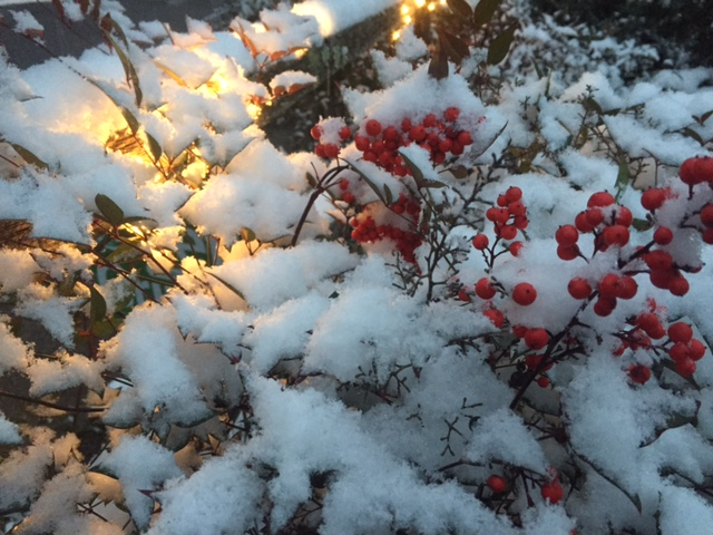 snow_on_Nandina.JPG