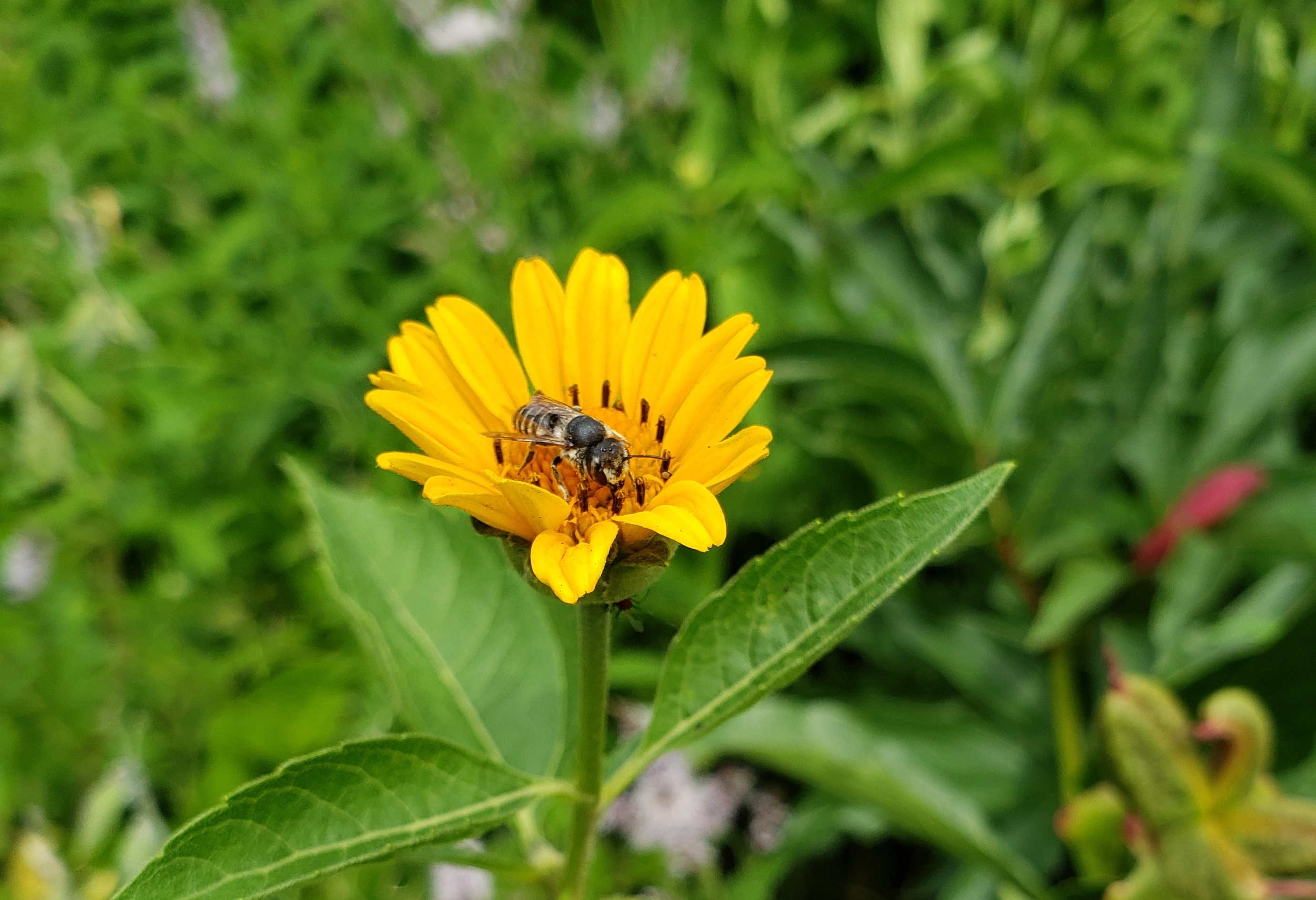 Wild Solitary Bee on False Sunflower