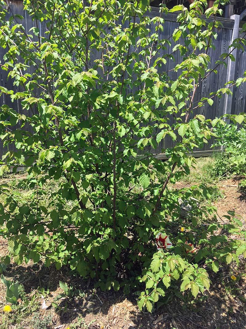 Hazlenut-Tree.jpg