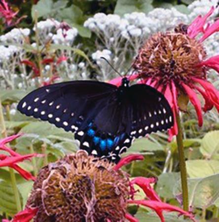 black-swallowtail.jpg