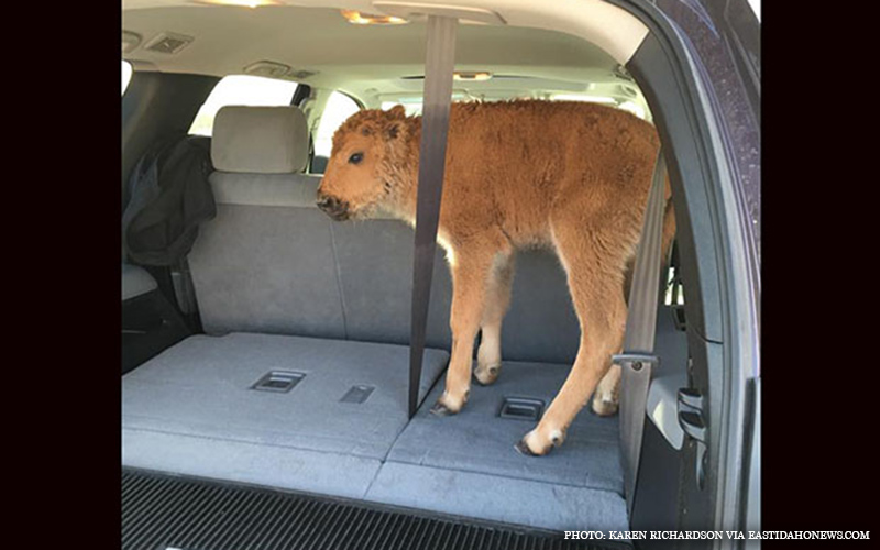 Baby_Bison_Captured.jpg