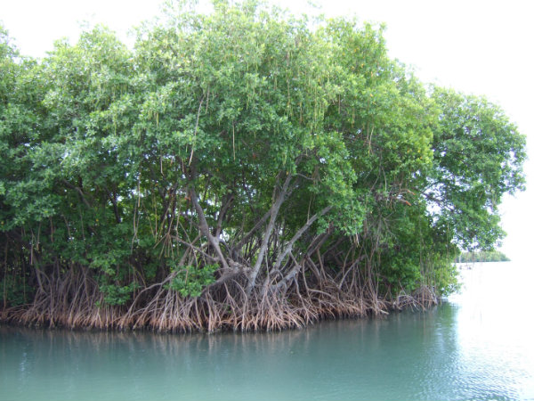Mangroves_in_Puerto_Rico.png