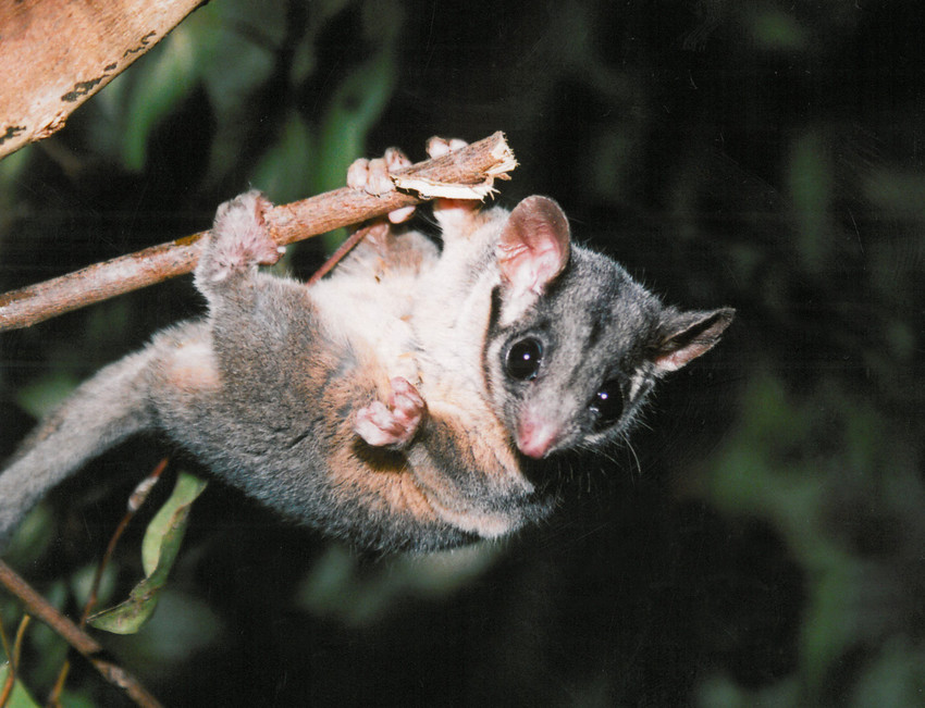 Law reforms threaten the survival of the endangered Leadbeater's (Fairy) Possum
