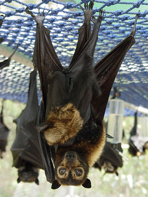 Rescued Spectacled Flying Fox with baby
