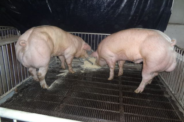 super_muscled_pigs600x400.jpg