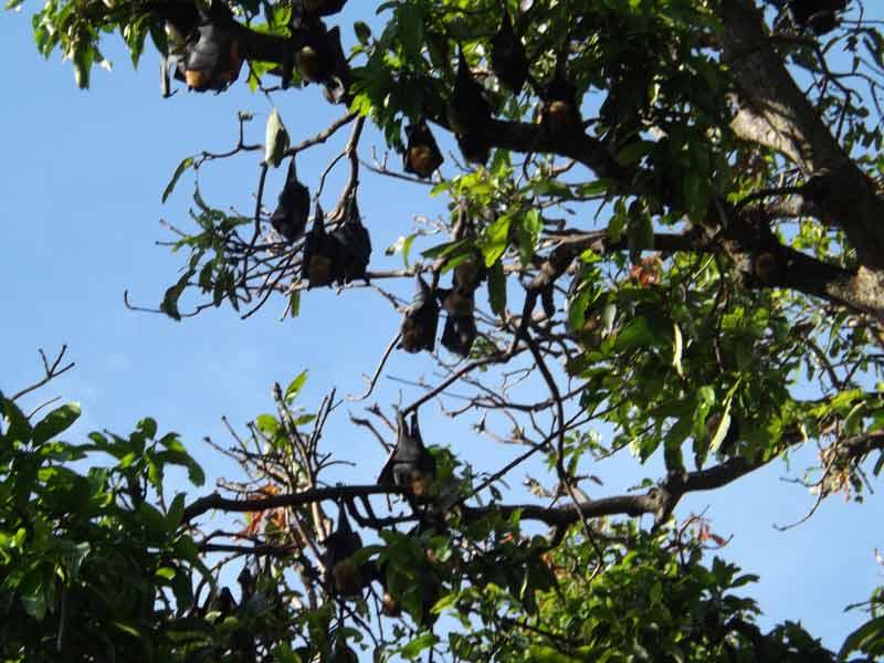 bats_in_cairns.jpg