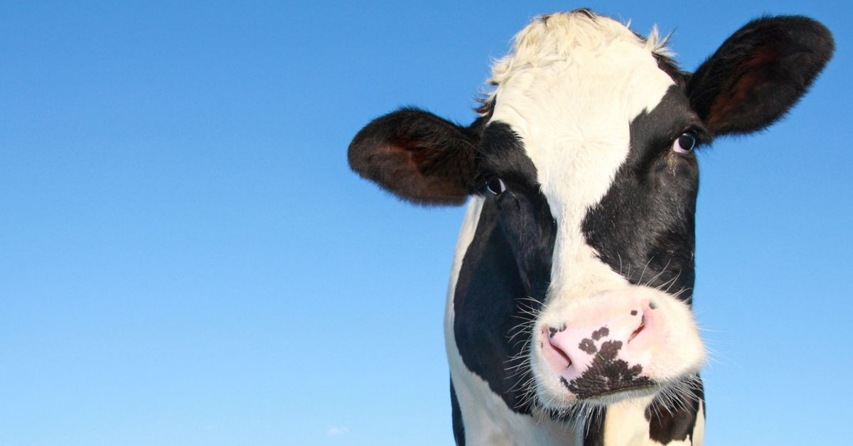 Gene-edited cow