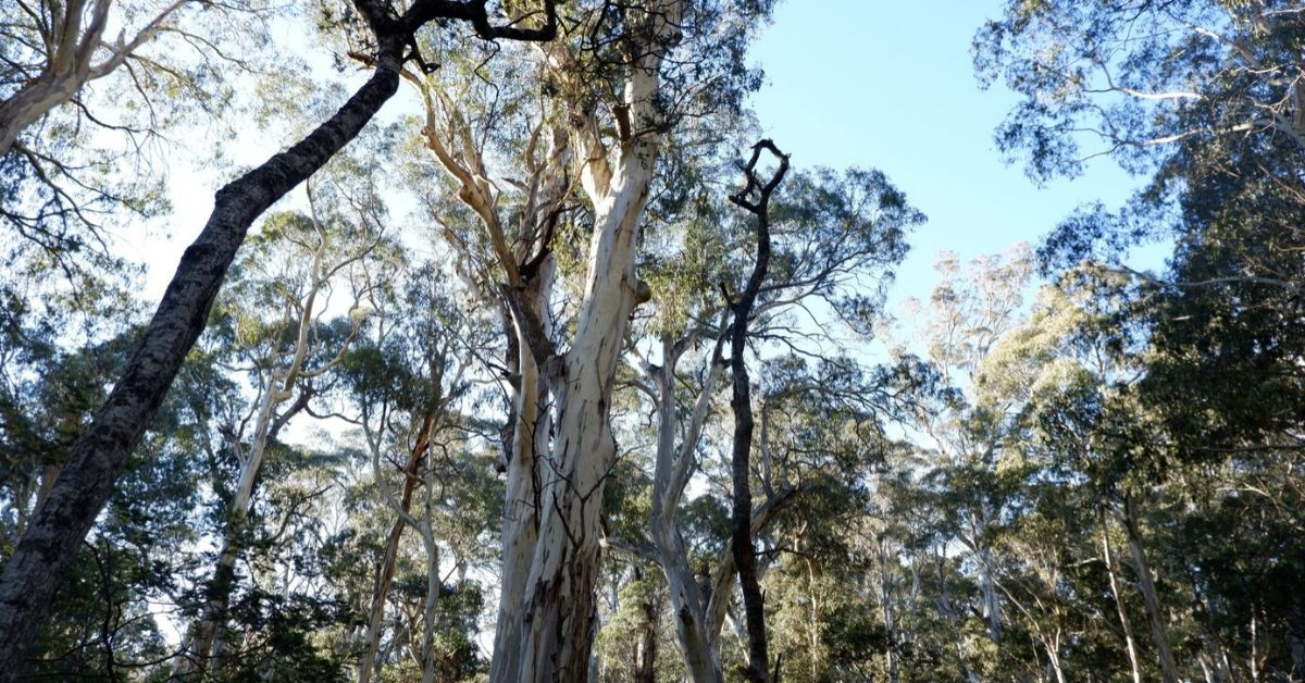 Critical unburnt Greater Glider habitat still threatened by logging, Nunniong East Gippsland