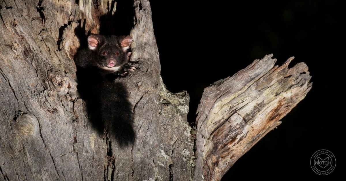 Greater Glider in tree