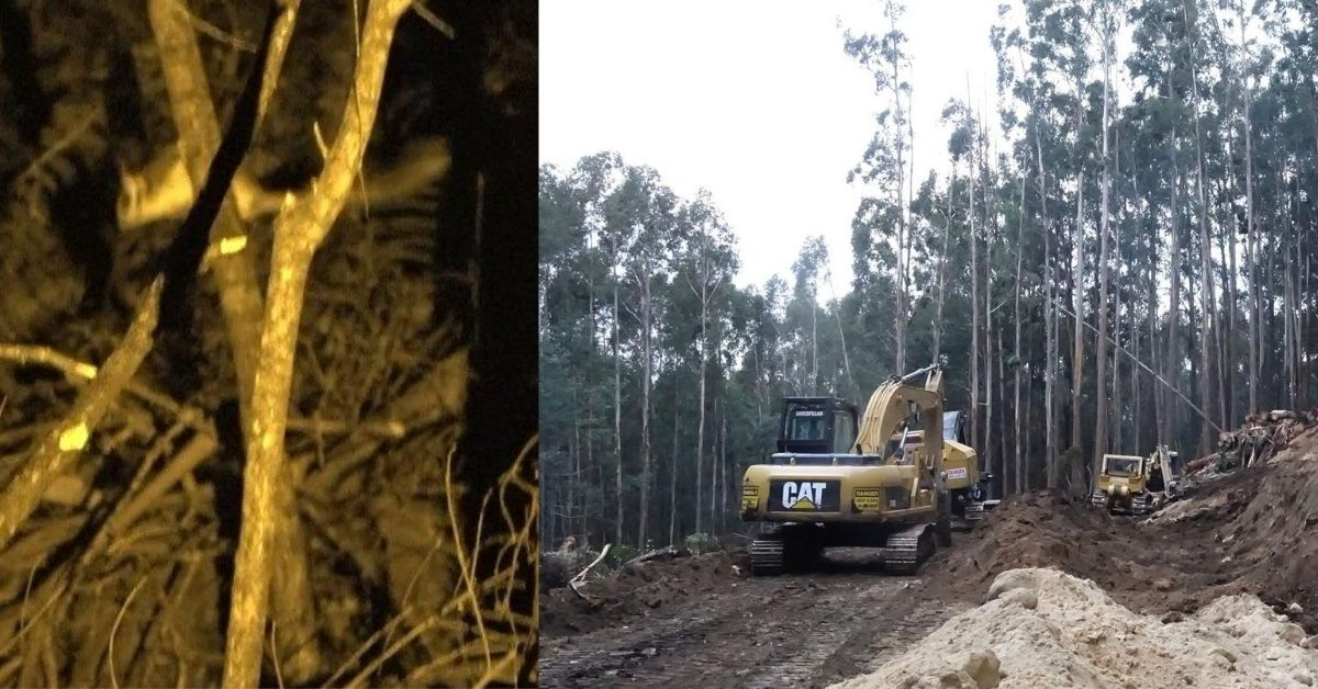 Leadbeater's Possum found in active logging coupe