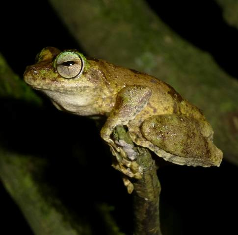Myola_Tree_Frog_Endangered.jpg