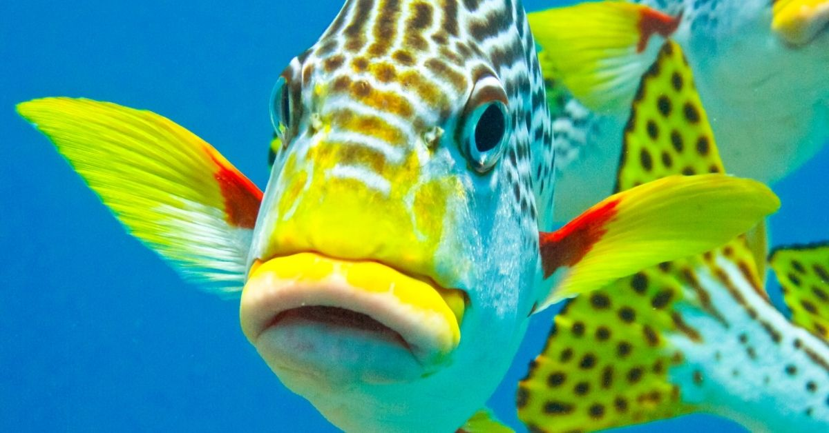 Fish with large yellow lips in vivid blue water