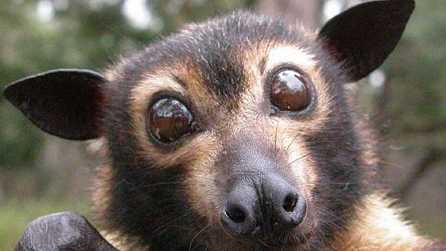 Spectacled_flying_fox.jpg