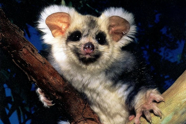 The Greater Glider is super cute and under threat!! TAKE ACTION to protect them from logging!!