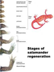 Salamander limb regeneration process