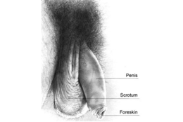 The anatomically of the intact male. His penis is flaccid and his glans is covered, as usual, by his foreskin.