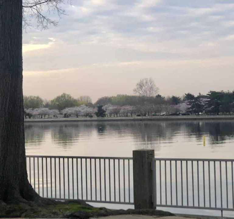 Cherry blossoms in East Potomac Park, as seen from TitanicMemorial Park.