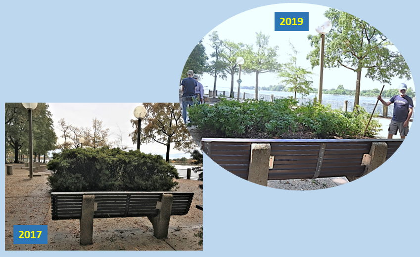 Before and After - Azaleas