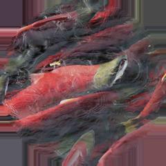 SalmonBubble.png