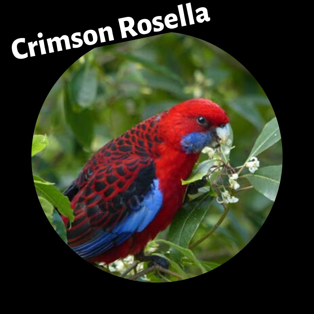 crimson_rosella.png
