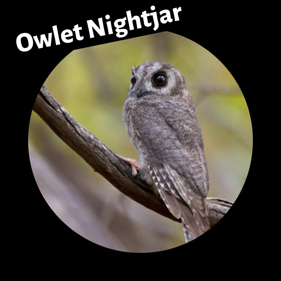 owlet_nightjar.png