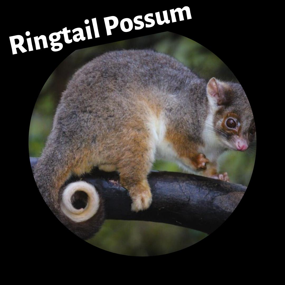 ringtail_possum.png
