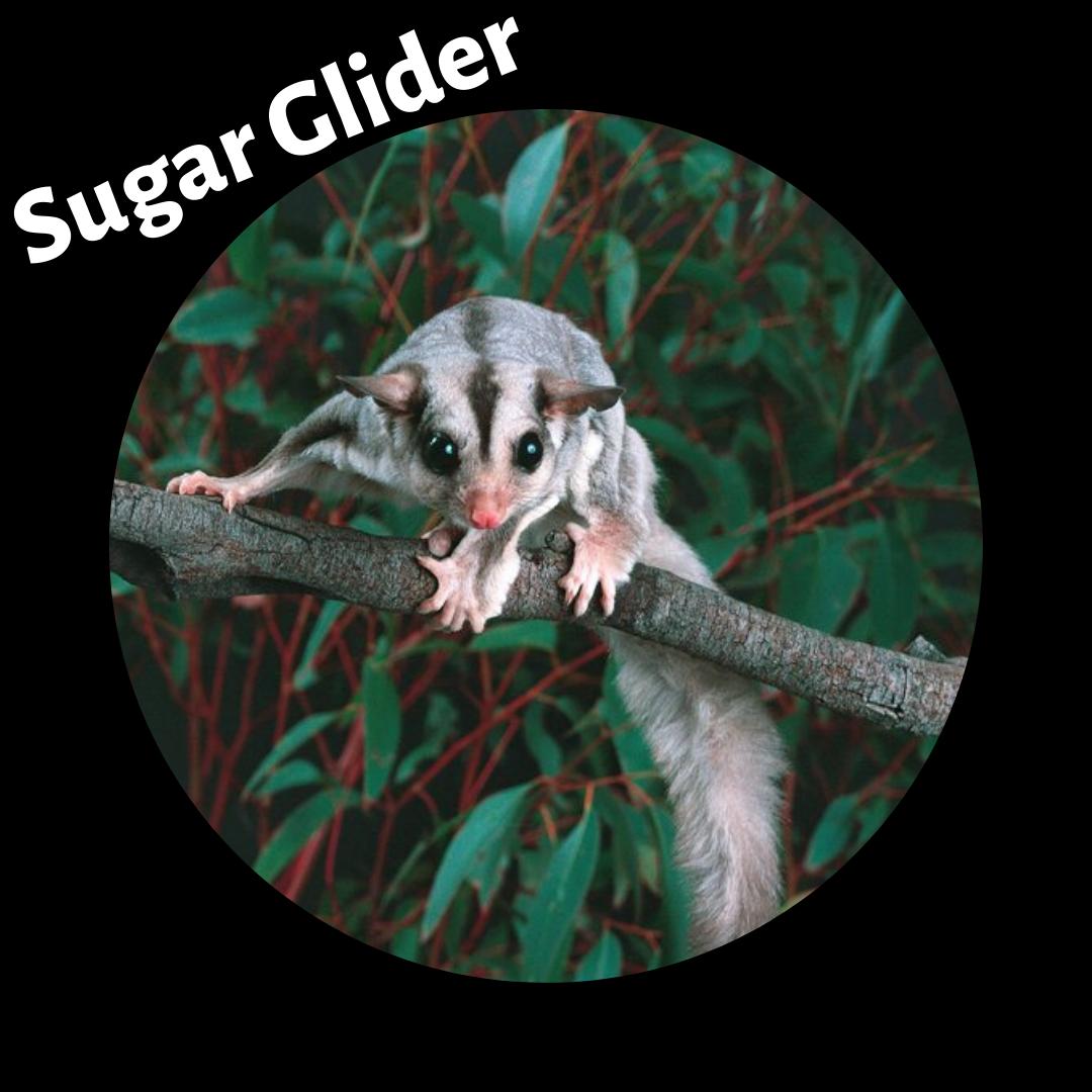 sugar_glider.png
