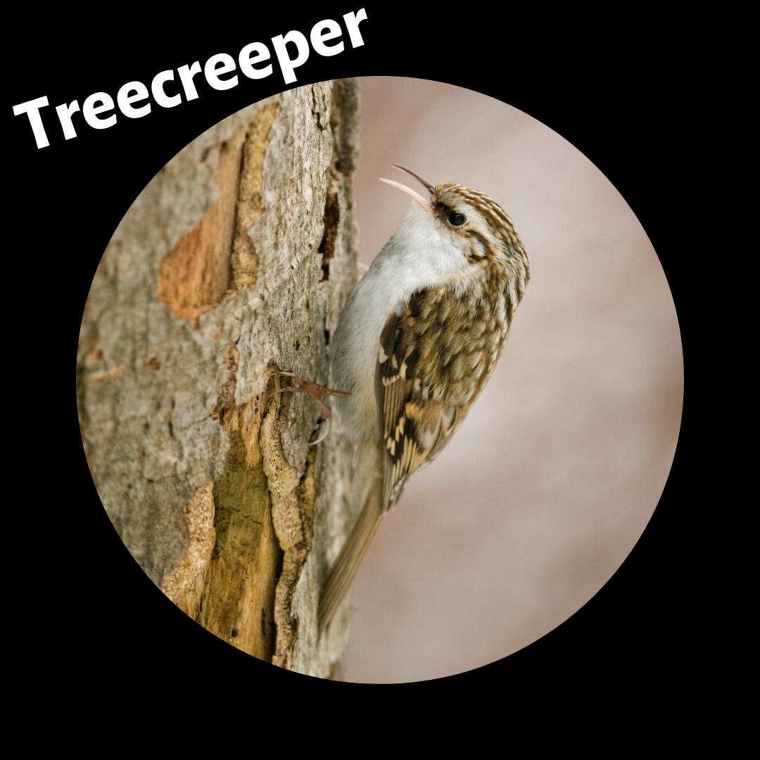 treecreeper.png