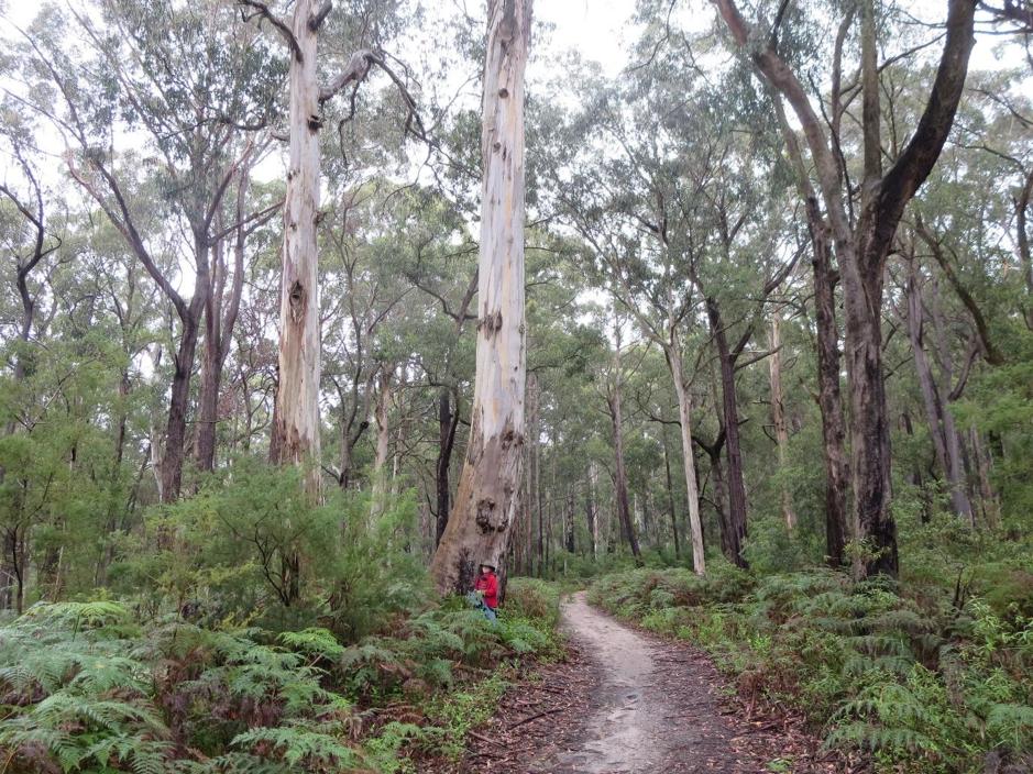 Mirboo North Koala Mapping
