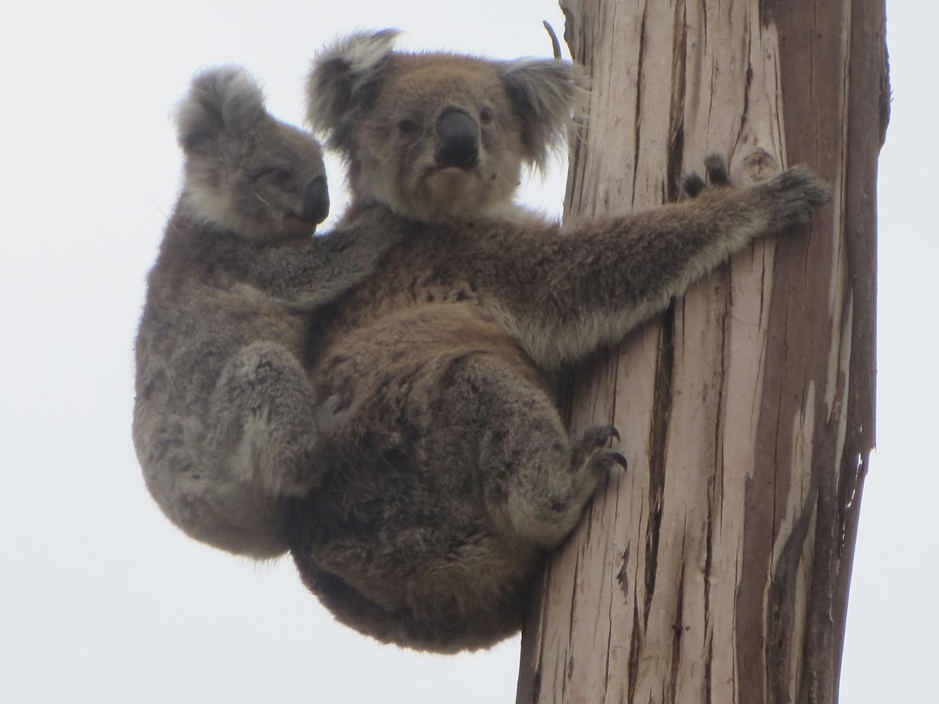 Distressed koala and baby SW VIC