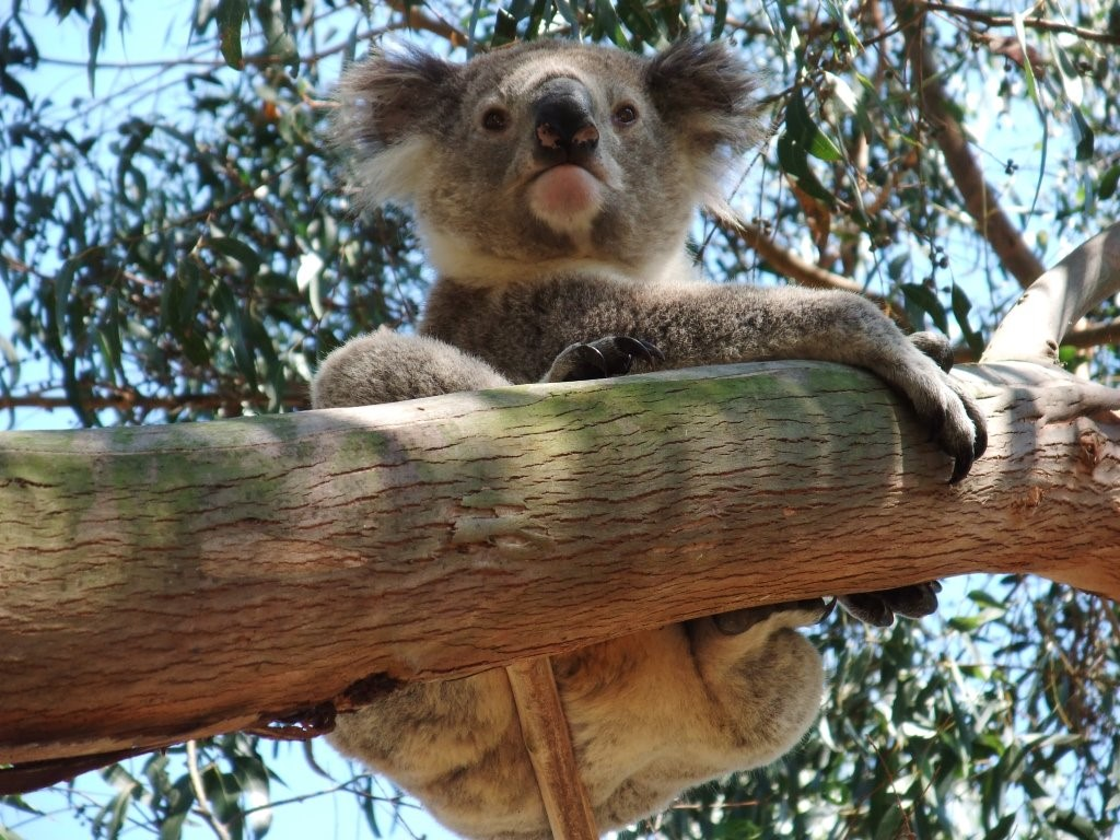 The Strzelecki Koala