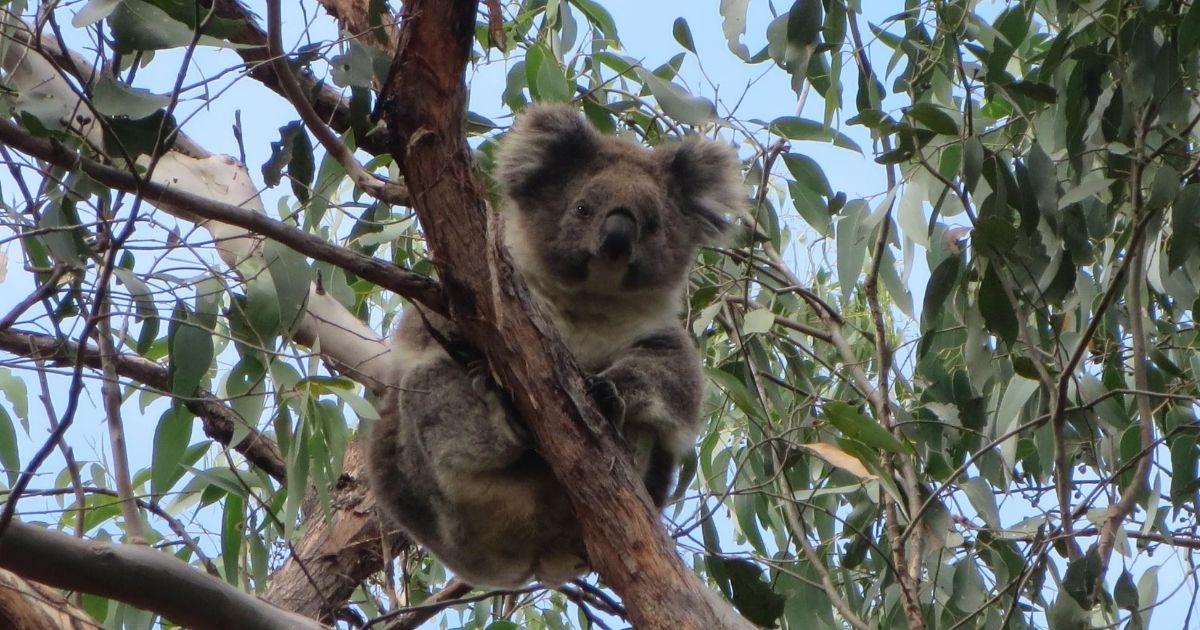 Strzeleck Koala