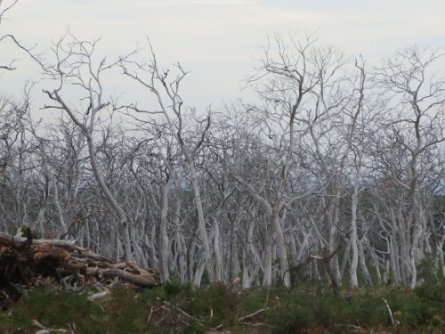Cape Otway Koala Habitat that has been overbrowsed by translocated koalas