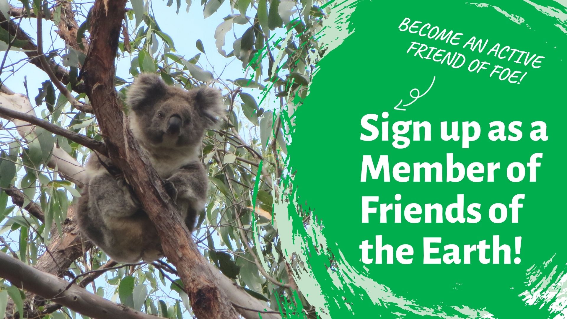 A Strzelecki Koala is pictuired in a gum tree. text overlay reads 'sign up as a member of Friends of the Earth'