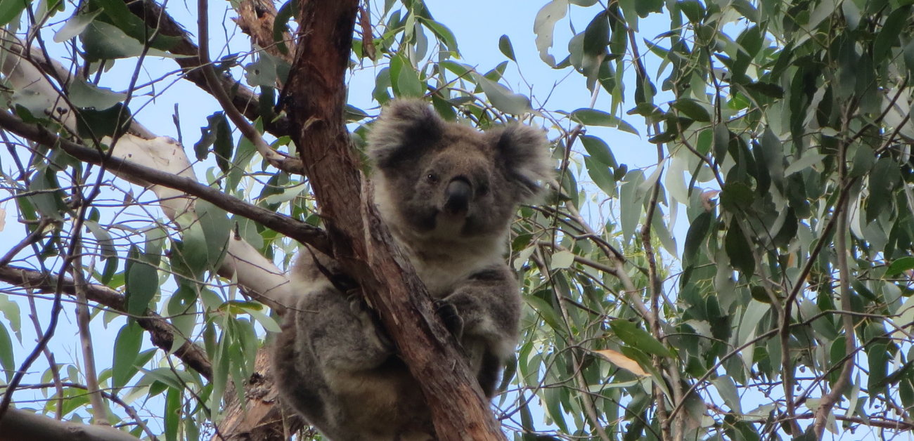 The genetically diverse Strzelecki/South Gippsland Koala is fighting its own unique battle. As our country is increasingly more vulnerable with bushfire risks looming, climate change is the biggest threat.