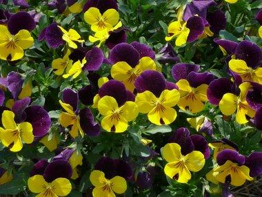 flowers_viola.jpg