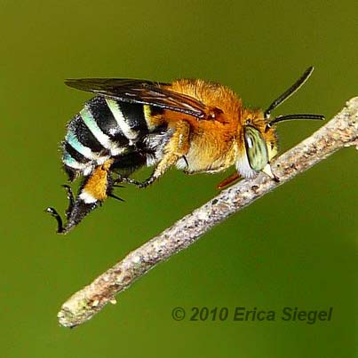 blue-banded-bee-siegel-9.jpg
