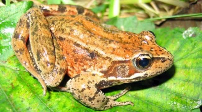 Red_legged_frog.jpeg
