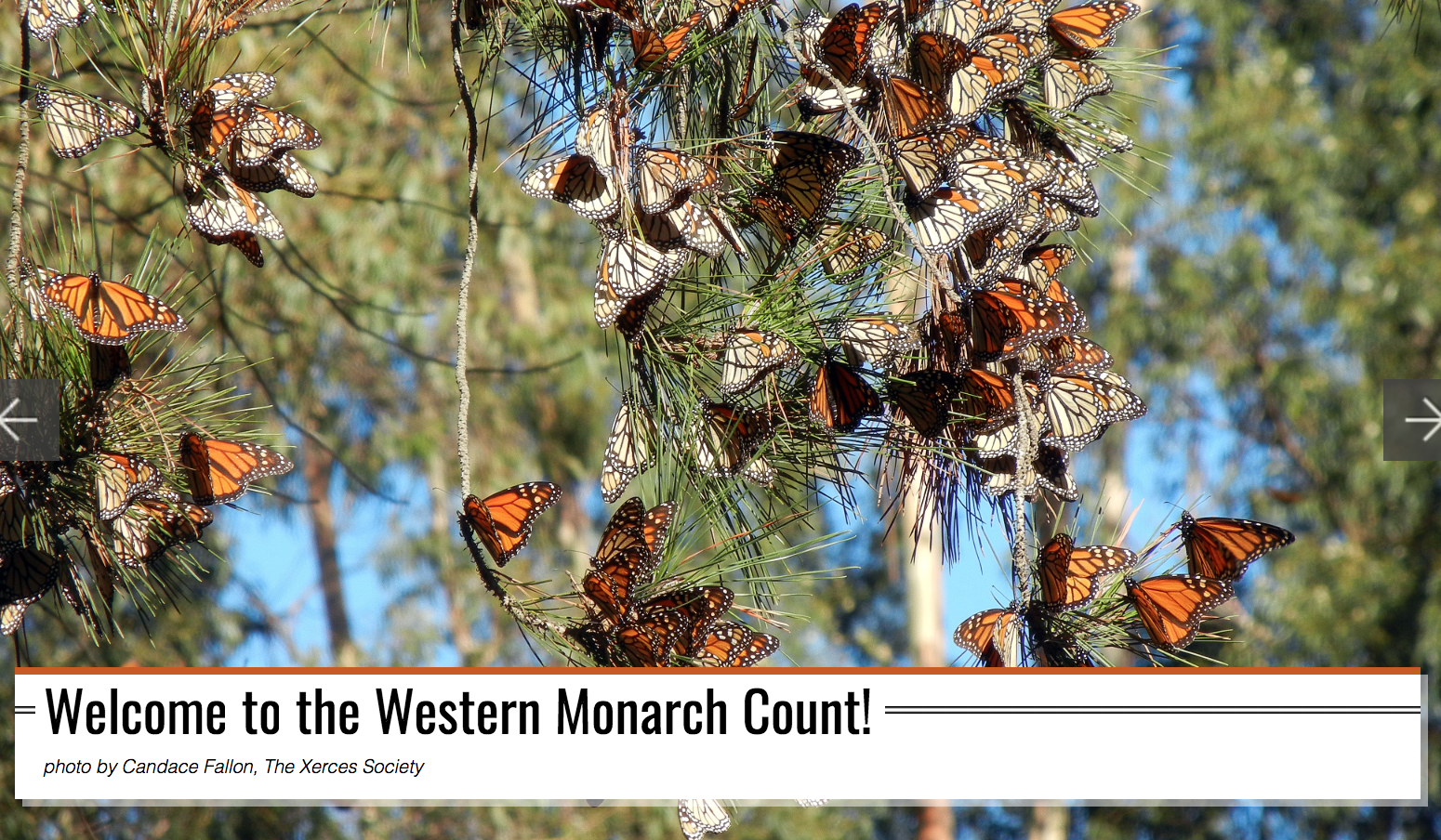 Western_Monarch_Thanksgiving_Count.png