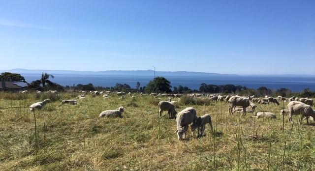 Gaviota Coast Sheep with Big View