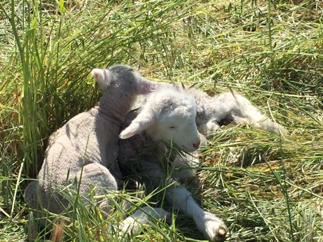 Baby Sheep!