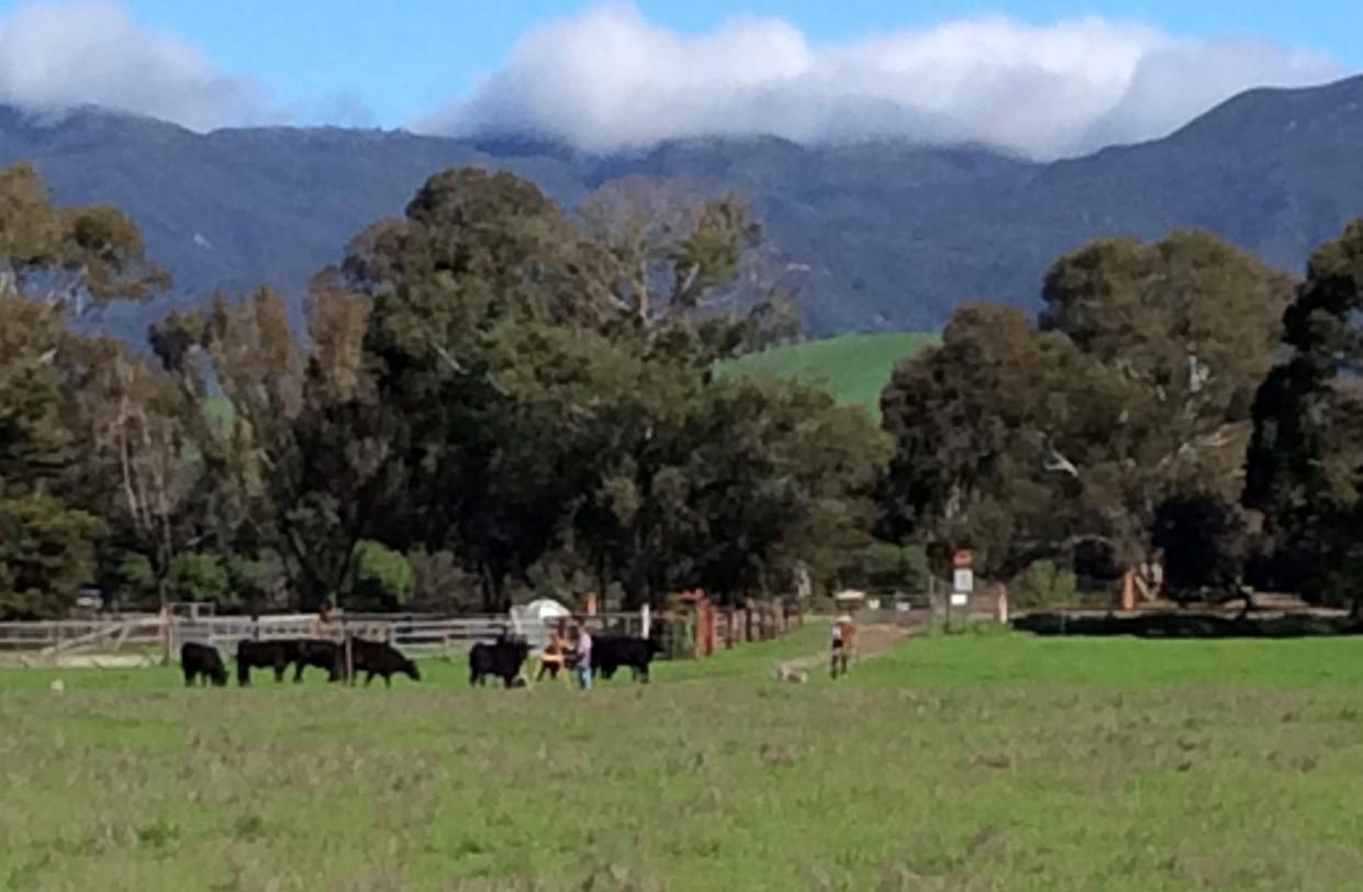 Cows Surrounding Painters